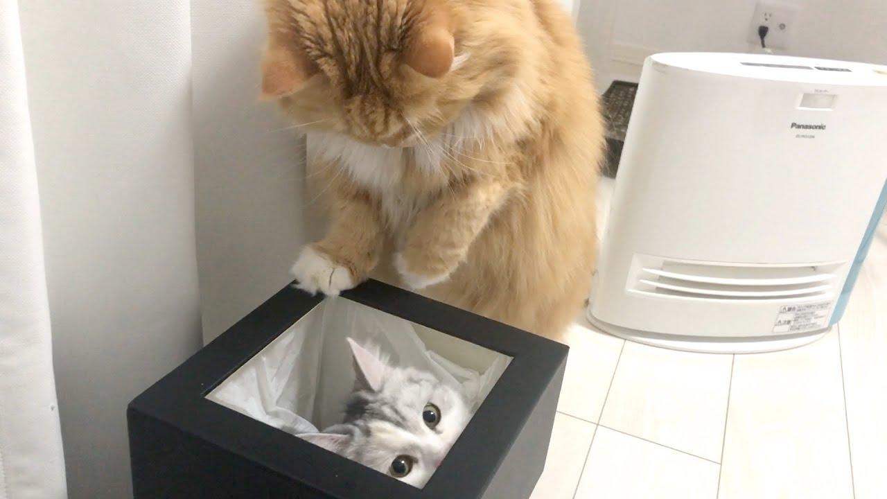 ゴミ箱の奪い合いが始まりましたw【スコティッシュフォールド】 - Cat holding a trash