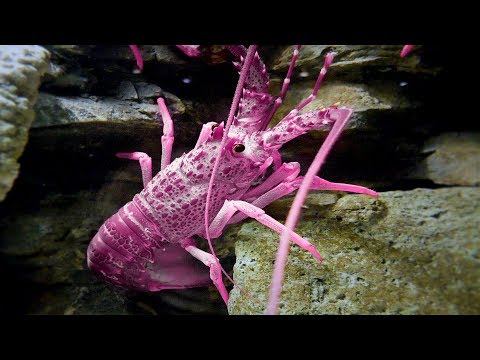 Top 5 Rare Colored Lobsters