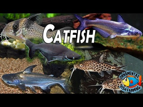 Catfishes - Wholesale Price & Mandi Rate for Magur Fish