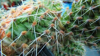 How to save a Cactus Plant that is shrivelled or wrinkled
