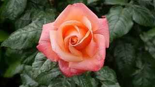 Pianta una rosa in una patata, il risultato ti sorprenderà