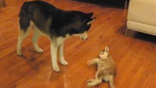 An early battle with Laika when she was a puppy