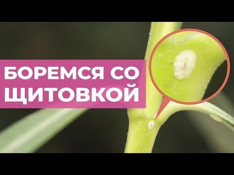 Щитовка на комнатных растениях. Липкий налет на листьях