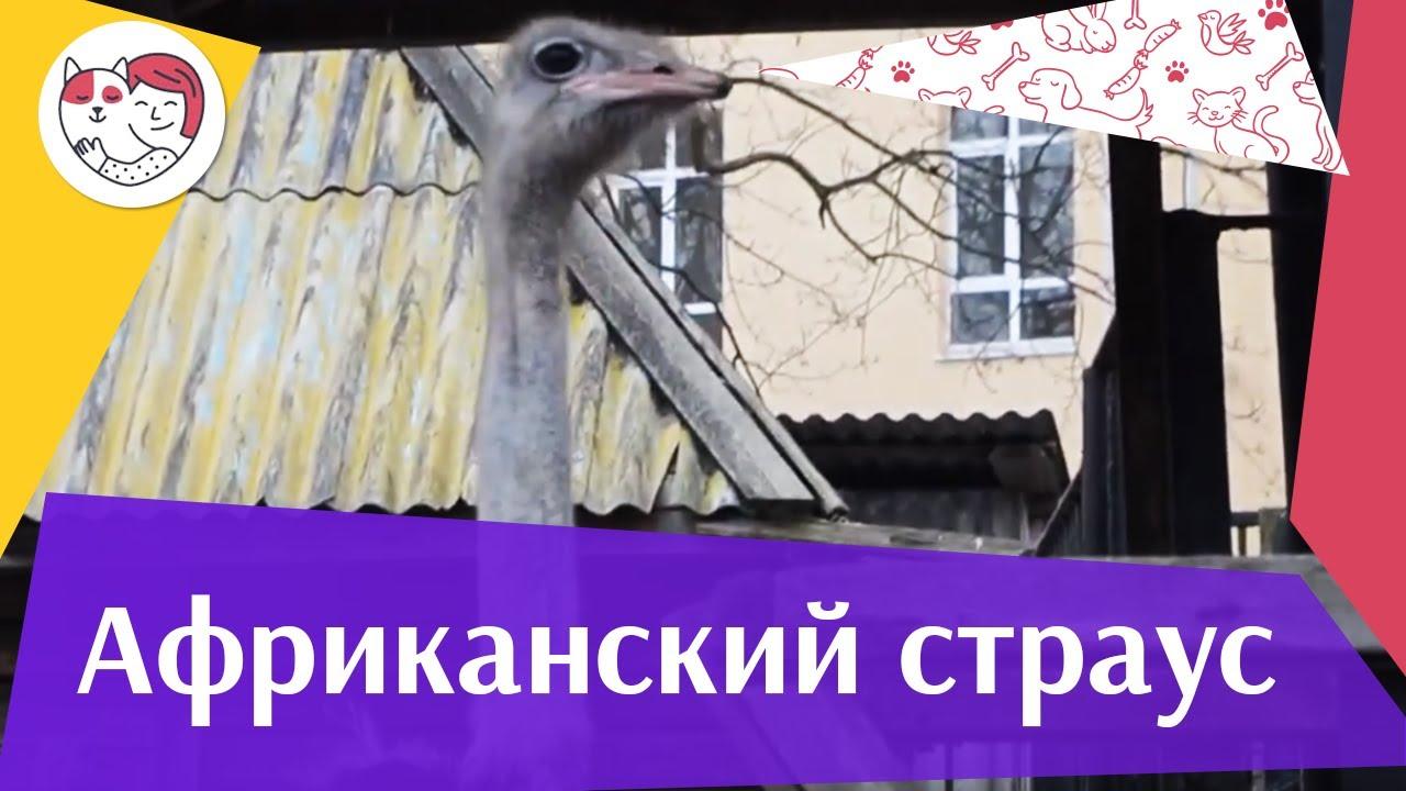 Африканский страус Не прячет голову в песок на ilikepet