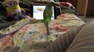 Indian Ringneck, Bodhi takes over my space on a rainy PNW day!