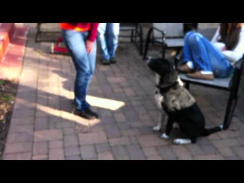 Terrific Dogs Presents: Training Sample- Riley Out Doors- Squeeky with Daughters