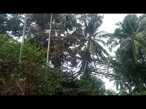 Durian pelintung yang melimpah ruah,,,