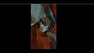 Kitten is playing - funny video with cats