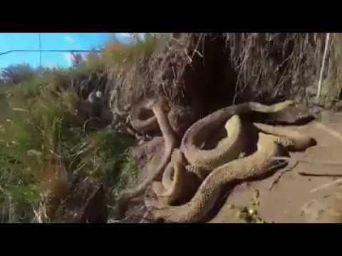 Wilhiam do Rio Abaixo descobre um ninho de cobra na Estrada dos Carmos