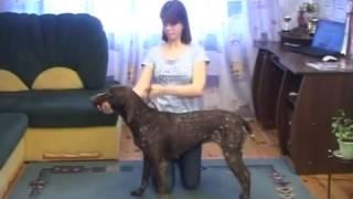 Как подготовить собаку к выставке Хендлинг