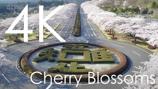 千本桜 - One Thousand Cherry Trees [4K]