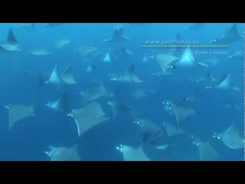 Hunderte Manta Mobulas in Galapagos!!! Unvergessliche Momente!! Hundreds of mobula rays, incredible!, Cabo Marshall - Isabela Island,Galapagos,Ecuador
