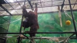 Смешные животные: Орангутаны