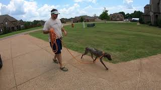 Training A German Shorthaired Pointer.