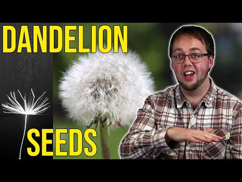 How are dandelion seeds able to travel distances of over 150km across oceans, with only small feathery bristles and the power of the wind? According to research by Cathal Cummins at the University of Edinburgh, the answer can be found in the fluid dynamics of the air flow around the plants 'micro-parachute', and in the future it could lead to improved flight for miniaturised vehicles such as drones.