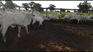 Bovino Corte Nelore Garrote 6-10@ - e-rural Imagens