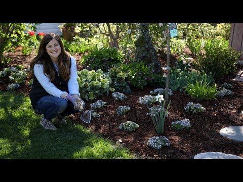 , title : 'Mass-Planting 'Blushing Princess' Alyssum 😍 🌸// Garden Answer