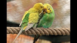 2 Hr Budgies Chirping Parakeets Sounds Reduce Stress Nature Bird Sounds Background Sounds