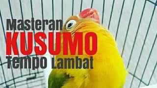 Masteran Lovebird Kusumo Tempo Lambat