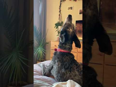 Anchovy, an adoptable Australian Cattle Dog / Blue Heeler Mix in Arlington, VA_image-1