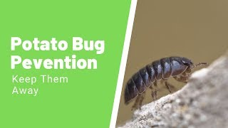 Complete Guide To The Potato Bug - How to Get Rid of Potato Bugs