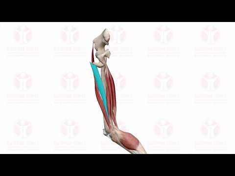 СГИБАНИЕ НОГИ В КОЛЕННОМ СУСТАВЕ : knee flexion