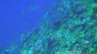 preview picture of video 'Diving with sharks on Saba'