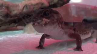 Gecko Guy Free Video Search Site Findclip