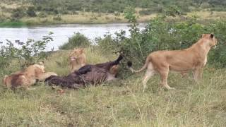 Mangheni pride catching a buffalo from the herd