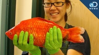 Monster Goldfish Invading Our Lakes