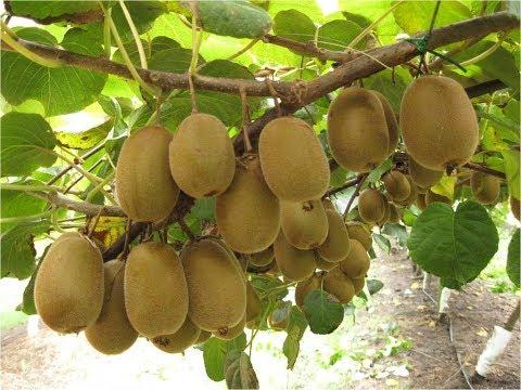 Gránátalma gyümölcslé a prosztatitisből