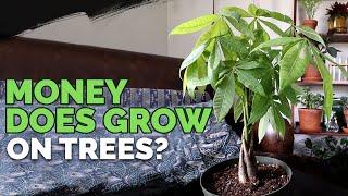 Money Tree (Pachira Aquatica) Care
