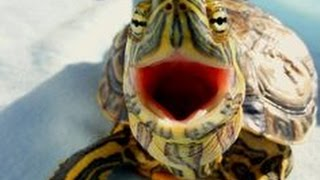 Top 10 Funny Turtle / Tortoise Videos Compilation 2016