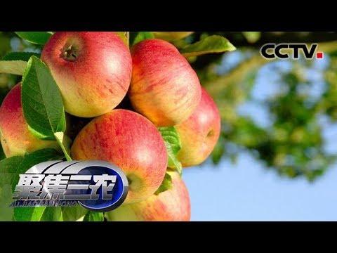 """《聚焦三农》 苹果涨价谁""""背锅"""" 苹果减产是价格上涨的主要原因 20190701   CCTV农业"""