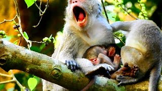 Wow! Jane protect baby until angry Tazana, Not allow other monkeys touch, Much better 288