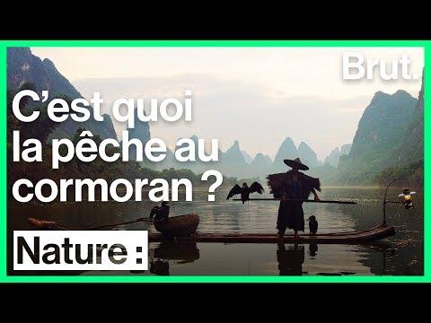 Cormoran, le compagnon des pêcheurs en Asie !