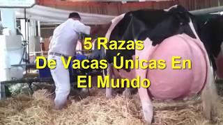5 Razas De Vacas Únicas En El Mundo | Kholo.pk