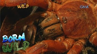 Born to be Wild: Documenting Philippine orange tarantula