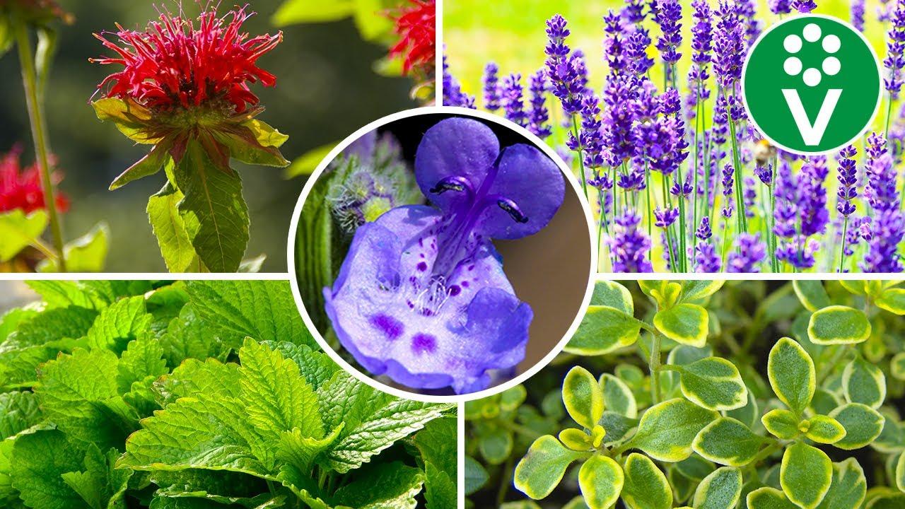 10 лучших растений для аптекарской клумбы