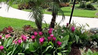 Curcuma zone 9b aka Siam Tulips
