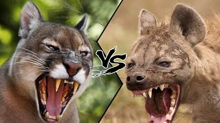 COUGAR VS SPOTTED HYENA - Who Would Win?