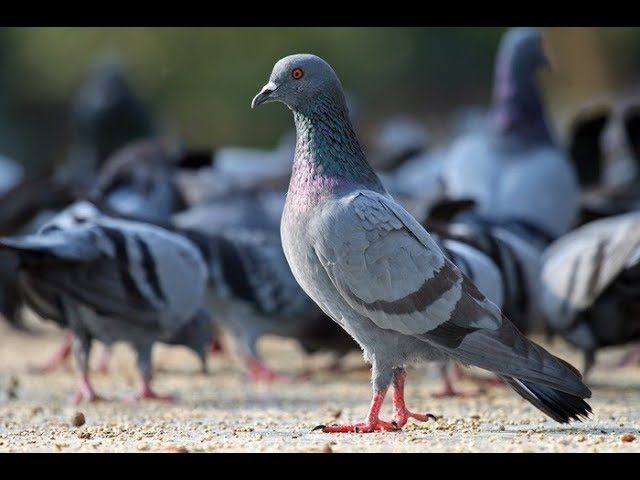 What are the signs of pigeons flying into the house? lucky or unlucky | News 24h tv