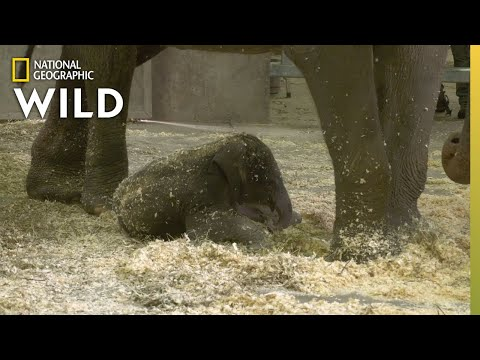 Baby Elephant Meets Her Aunts | Babies of the Zoo