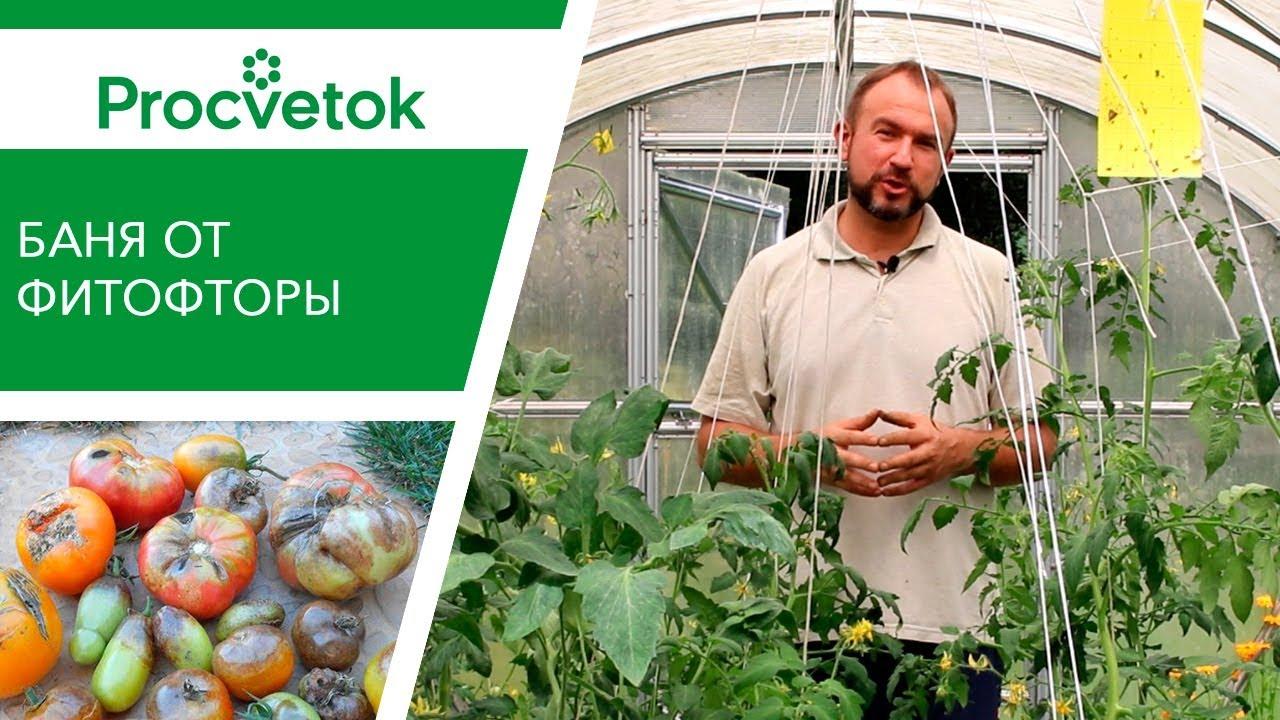 БАНЯ от фитофторы на помидорах. Работает или нет? Необычная борьба с фитофторозом томатов