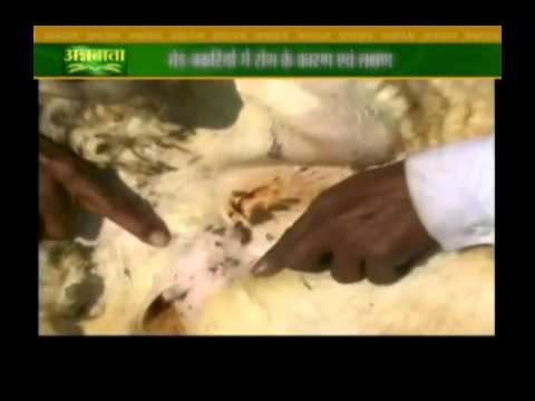Video Know about symptoms and causes of diseases in sheeps and goats