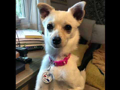 Gia, an adoptable Pomeranian & Chihuahua Mix in Glendora, CA_image-1