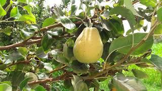 Ägyptischer Obstgarten mit Mangos, Trauben, Orangen, Datteln