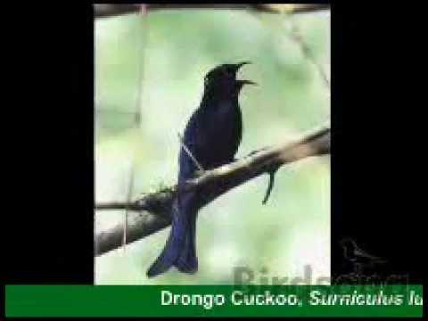Mengenal Beberapa Jenis Burung Wiwik Atau Kedasih Yang Ada Di Indonesia Kaskus