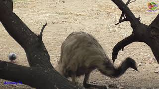 Emu Drinking Water !