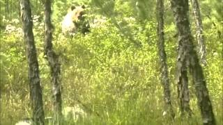 Атака медведя...